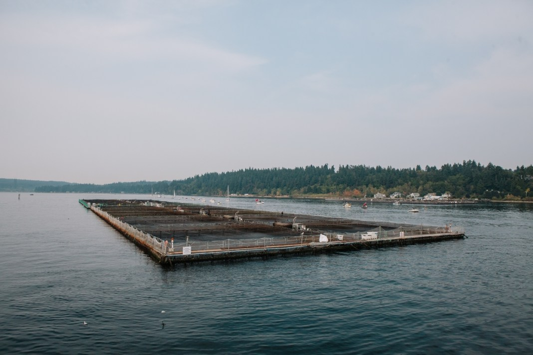 Fish Farming Pen Puget Sound (Ramon Dompor/The Seattle Times)