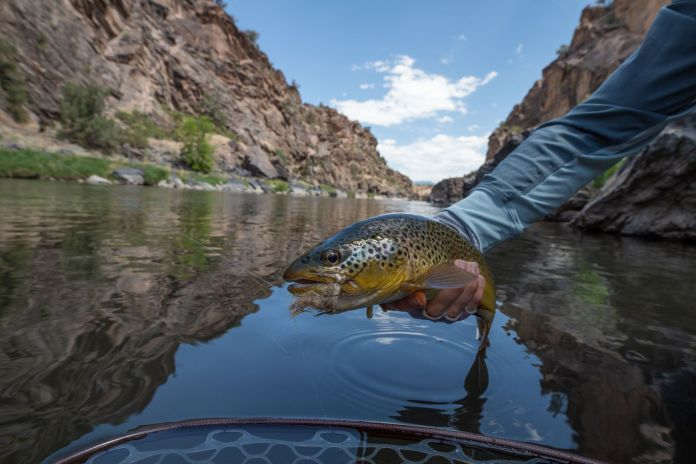 brown trout on the gunnison river