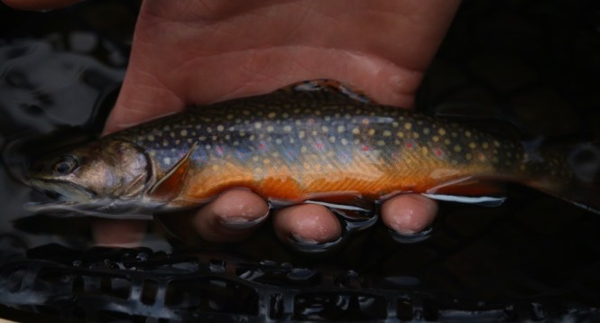 Brook trout in hand.