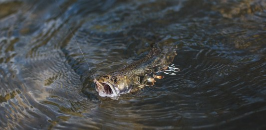 Native Brook Trout on the dry