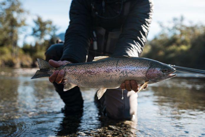 iliamna river rainbow trout