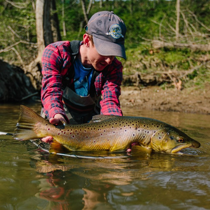 Brown trout handled in the water
