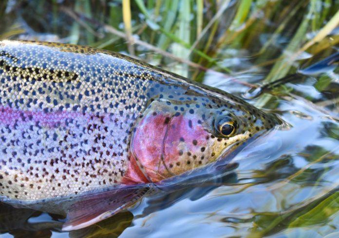 alaska fly fishing rainbow trout lake creek