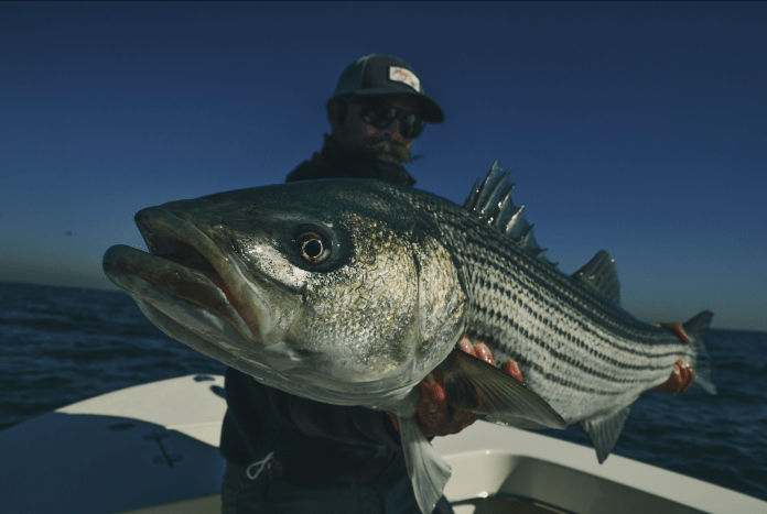 Cow Striped Bass