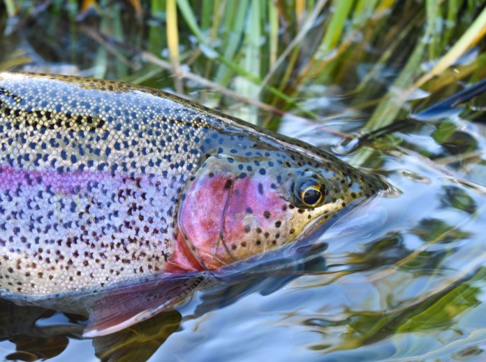 alaska fly fishing rainbow trout