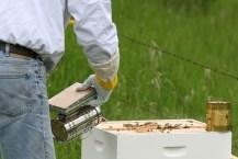 Smoking Bees to calm them.