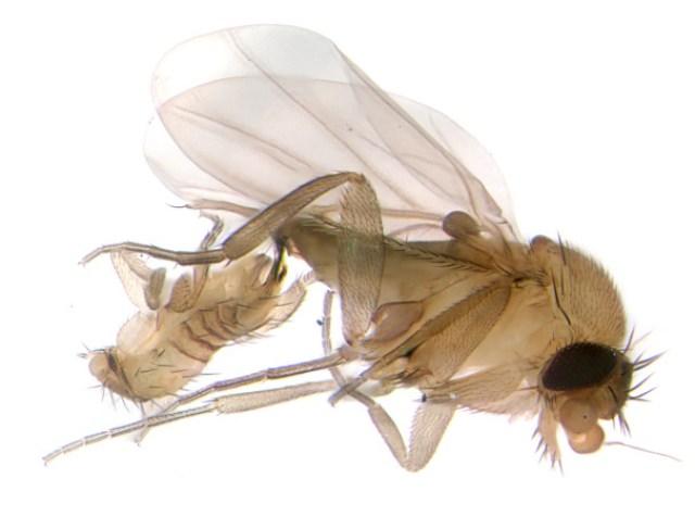 Borgmeieriphora in copula oblique