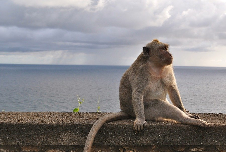 Monkey looking out over the ocean at Uluwatu in Bali