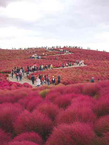 A hill blanketed in red Kochia plants at Hitachi Seaside Park, Japan