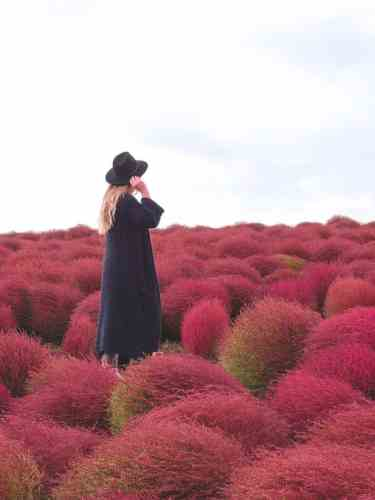 Red Kochi plants at Hitachi Seaside Park in Japan
