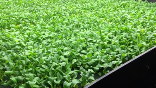 Lettuce grown in vertical farms at AeroFarms.