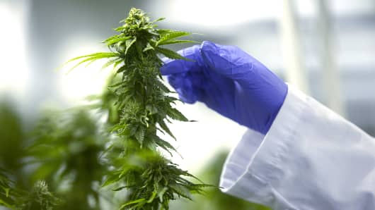 A worker inspects cannabis plants growing inside a shipping container grow pod at the Delta 9 Cannabis Inc. facility in Winnipeg, Manitoba, Canada.