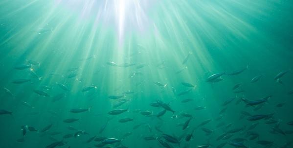 海を泳ぐ大量の鯖の群れ