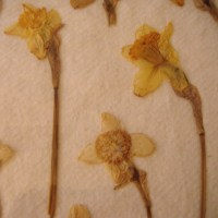 Pressing and Drying Daffodils