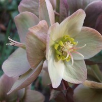 Today in the Garden: Hellebores