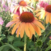 Dreamy Coneflowers
