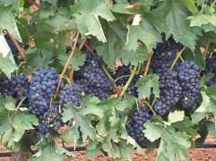 in vino veritas 1