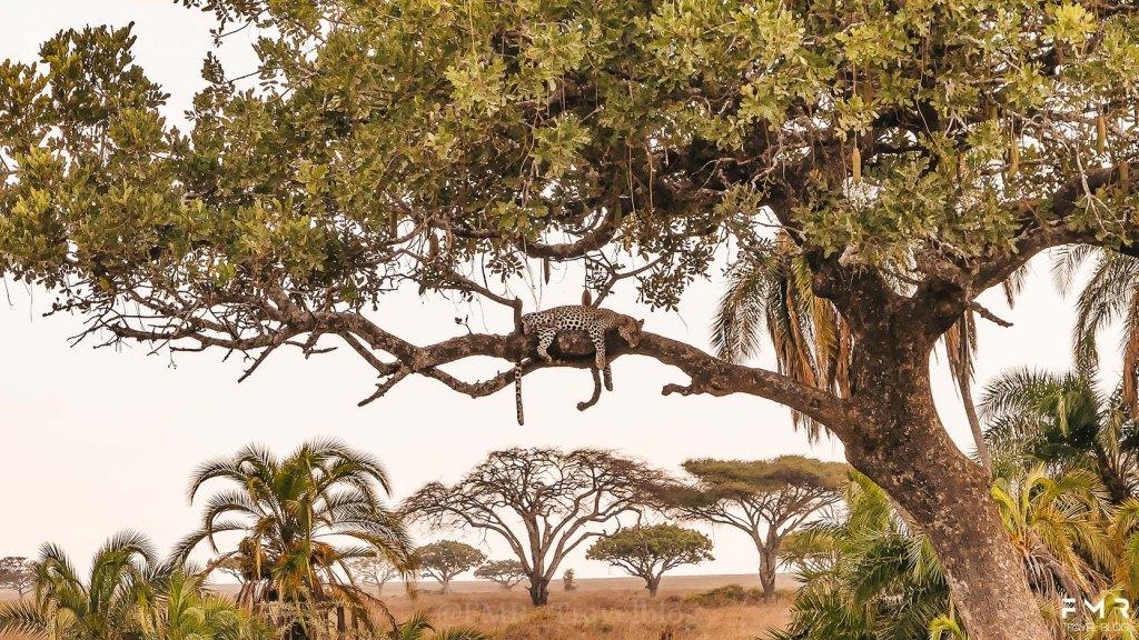 Leopard Safari Tanzanie