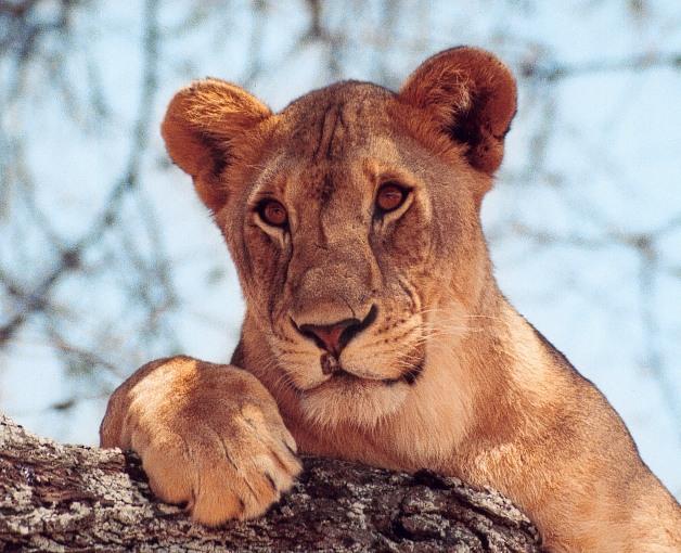 Crédito da imagem: https://i2.wp.com/fmwww.bc.edu/jenson/safari/Cats/Lioness.jpg