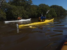 Paddling next to mangrove at South Ballina