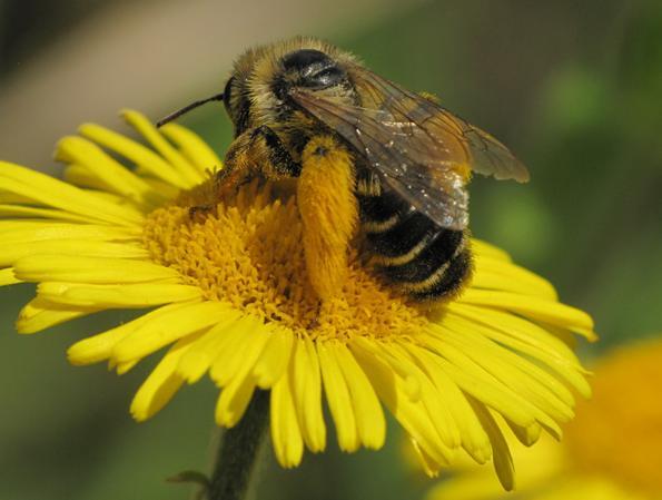 Frelon asiatique : le piégeage tue trop de pollinisateurs !