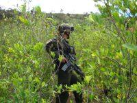 Proceso de paz, cultivos de coca e incentivos perversos