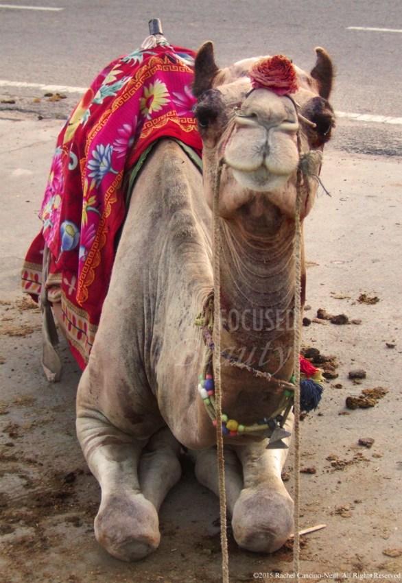 """Camel Face"" by Rachel Cancino-Neill taken in India: 2010"