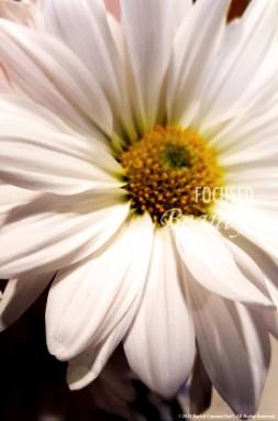 """Daisy Up-Close 3"" by Rachel Cancino-Neill taken in Springfield, MO: 2015"