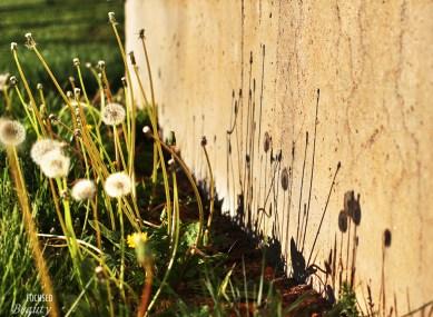 """A Row of Dandelion Shadows"" by Rachel Cancino-Neill"