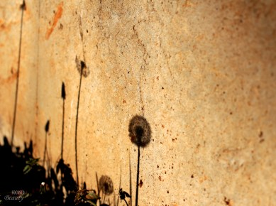 """""""Shadow of the Dandelions"""" by Rachel Cancino-Neill"""