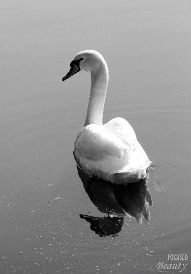 Black and White Floating Swan