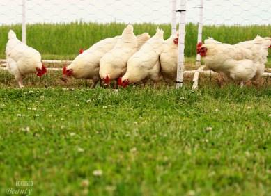 Chickens eating grub