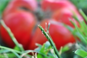 Grass in Front of Heirloom Tomato