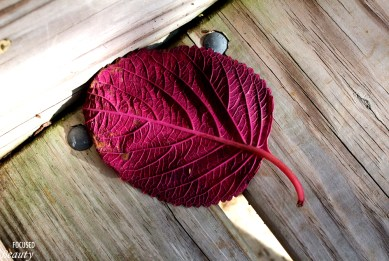 purple-leaf-front-view