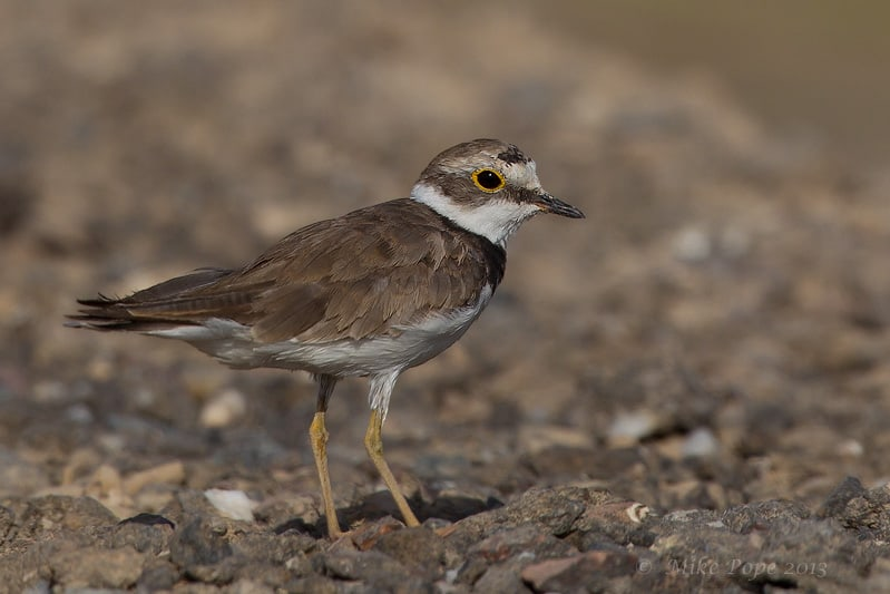 Female Little Ringed Plover