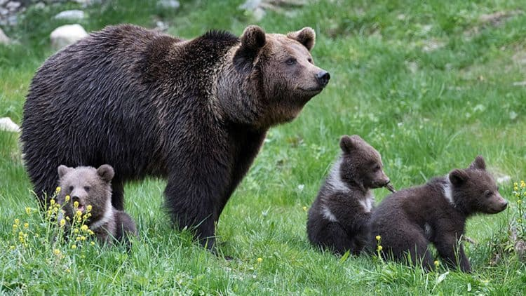 Record number of bear cubs born in French Pyrenees brings cheer and fear