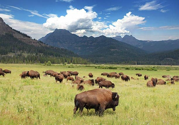 Bison cull numbers in Yellowstone National Park to remain about same as last year
