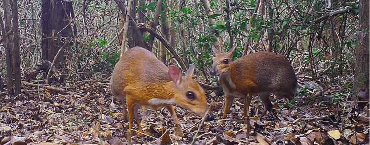 Scientists rediscover mammalian oddity in remote Vietnam