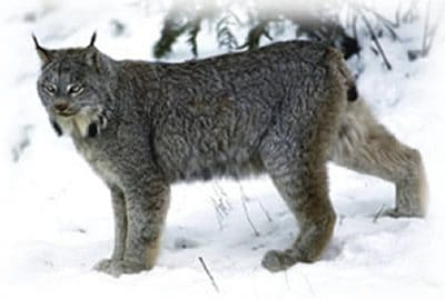 """New research shows, two closely-related species of wild cats in Ontario, Canada, may face starkly different futures. Is this """"survival of the fittest?"""""""