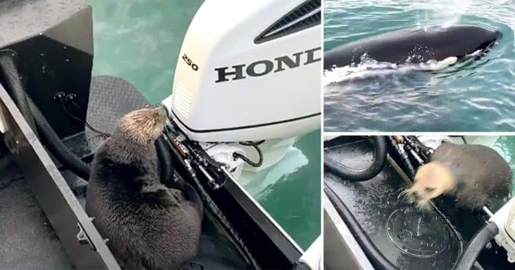 Otter escapes jaws of killer whale by jumping on board boat
