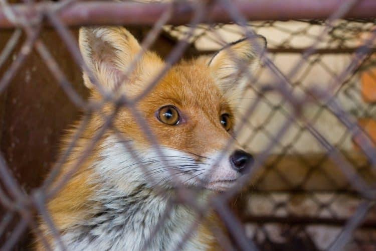 Alicante cops rescue fox cub for sale on the web for €550