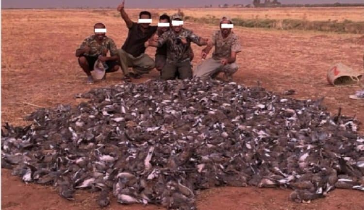 Turtle Dove slaughter in Morocco by foreign hunters