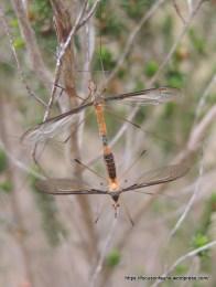 Crane flies - 'pollination' of a different sort