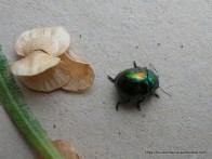 Metallic Leaf Beetle, Callidemum hypochalceum