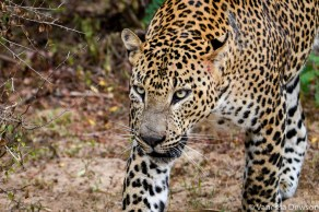 Leopard on the prawl
