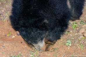 Sloth Bear Digging