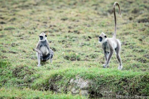 Langur Monkeys