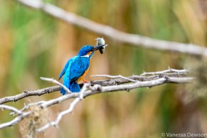 King Fisher Catch