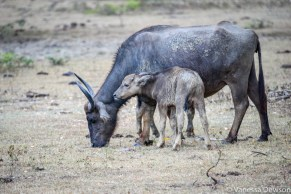 Mother and calf water buffalo