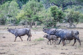 Water Buffalo on the move